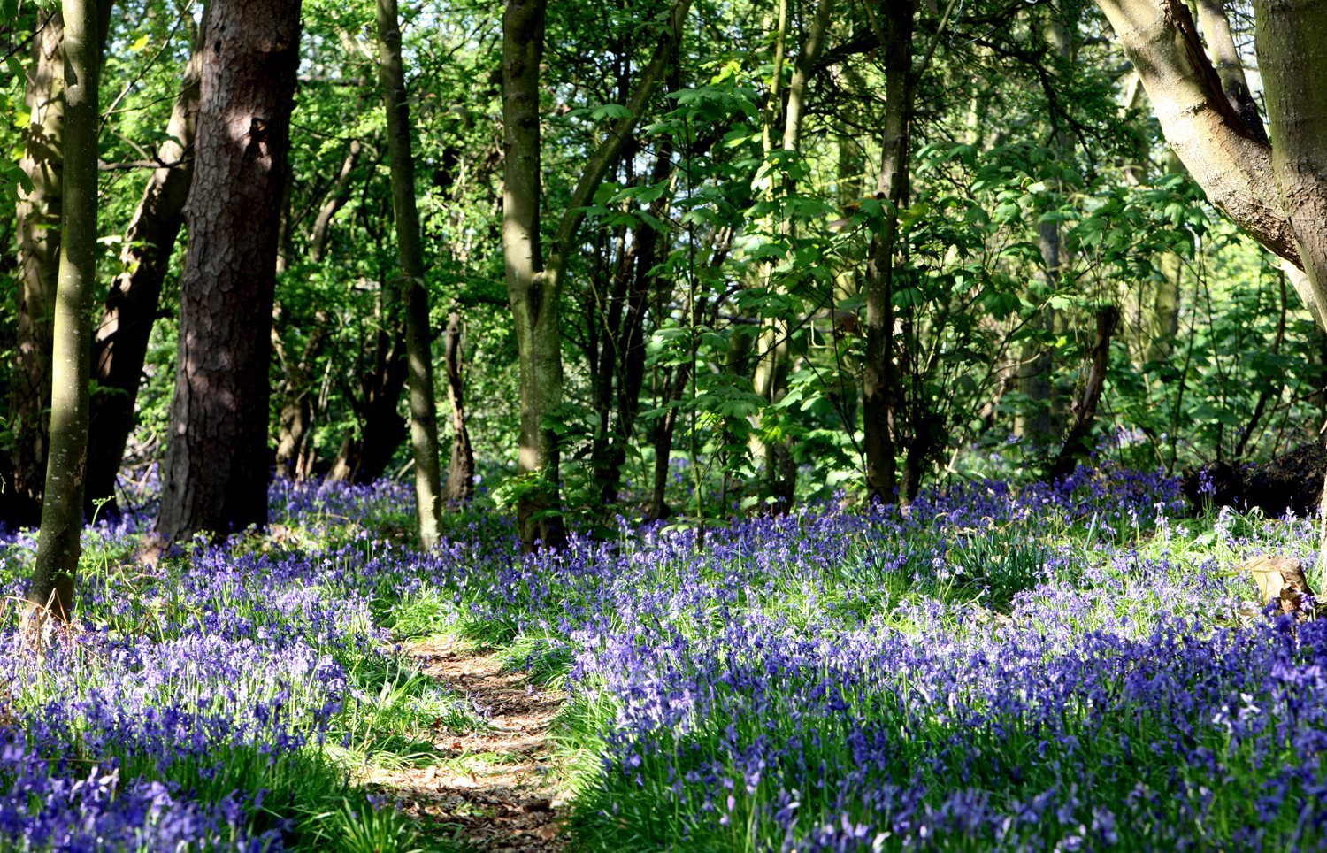 Our bluebell woods are a sight to behold in early May and are a popular walking spot for locals and residents alike